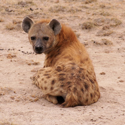 Stylized Animal Challenge - Sep 2007 - HYENA